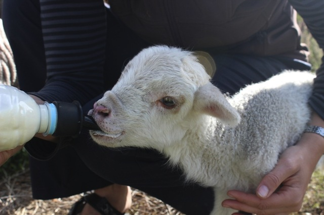 Spot das Schaf